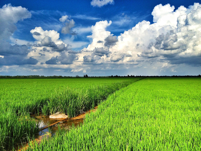 green rice field with blue sky