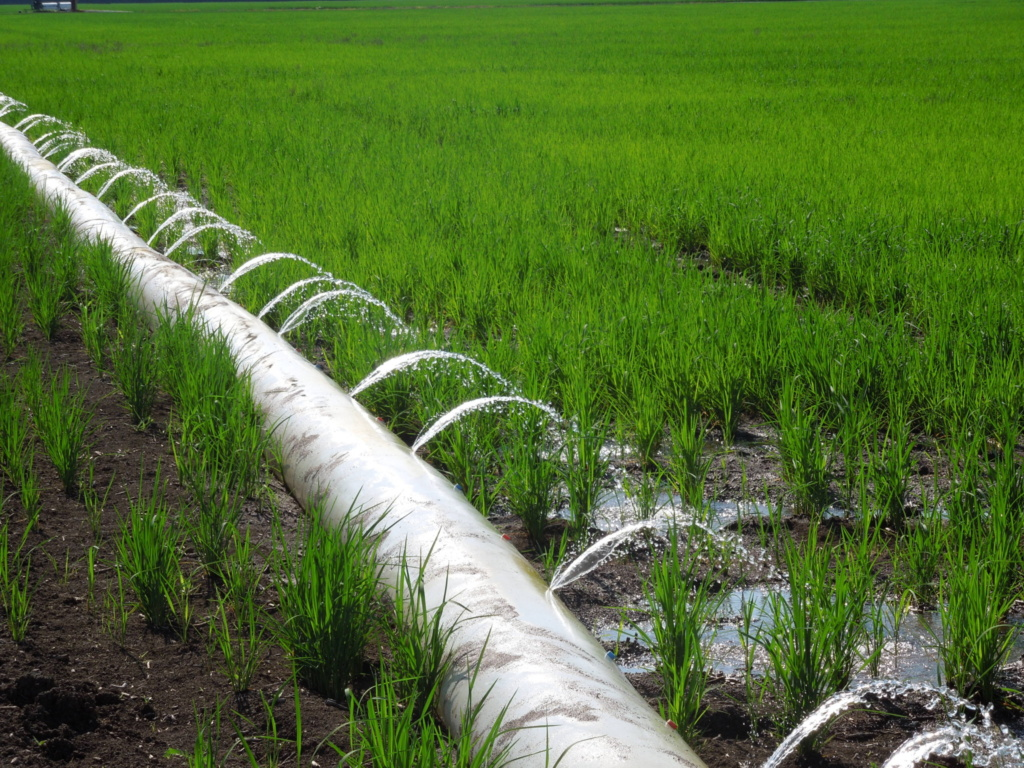 rice field with water