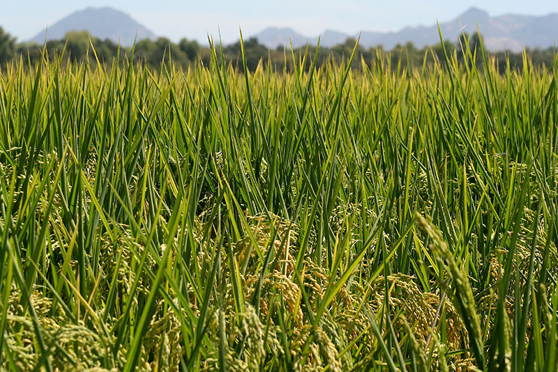 Landscape view of a California rice field.