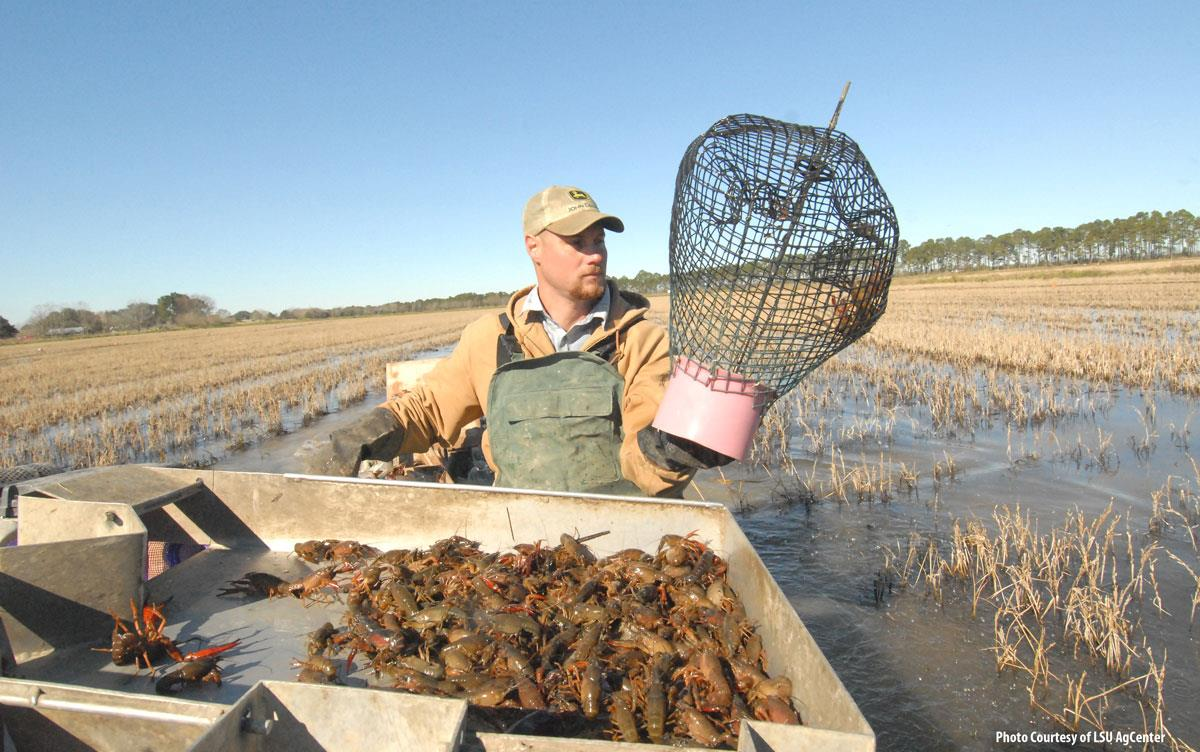 Crawfish harvesting, man in boat moving through rice field holds net, tray of live crawfish in foreground