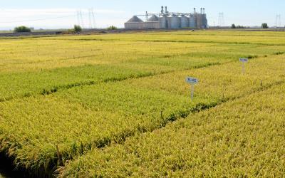 California rice research field, grain bins in background