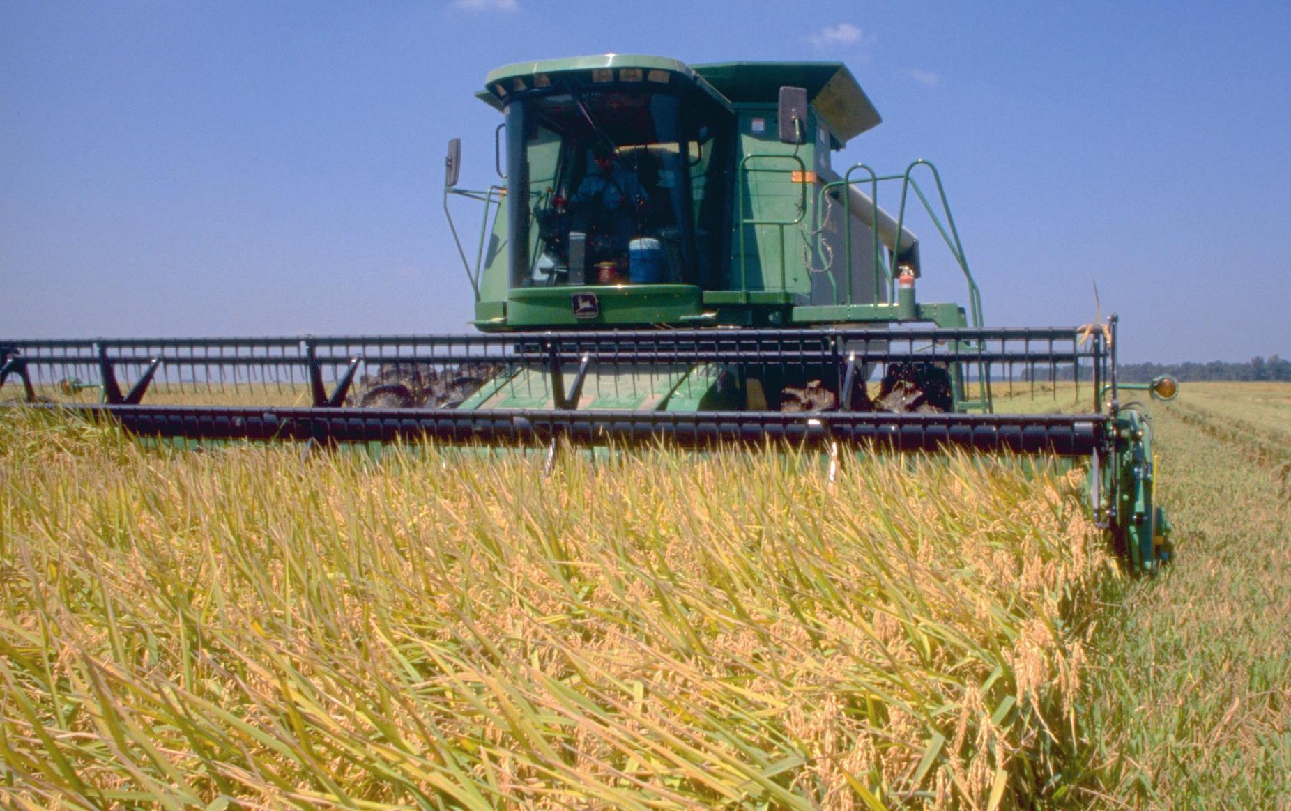 Green harvester cutting in rice field, blue sky background