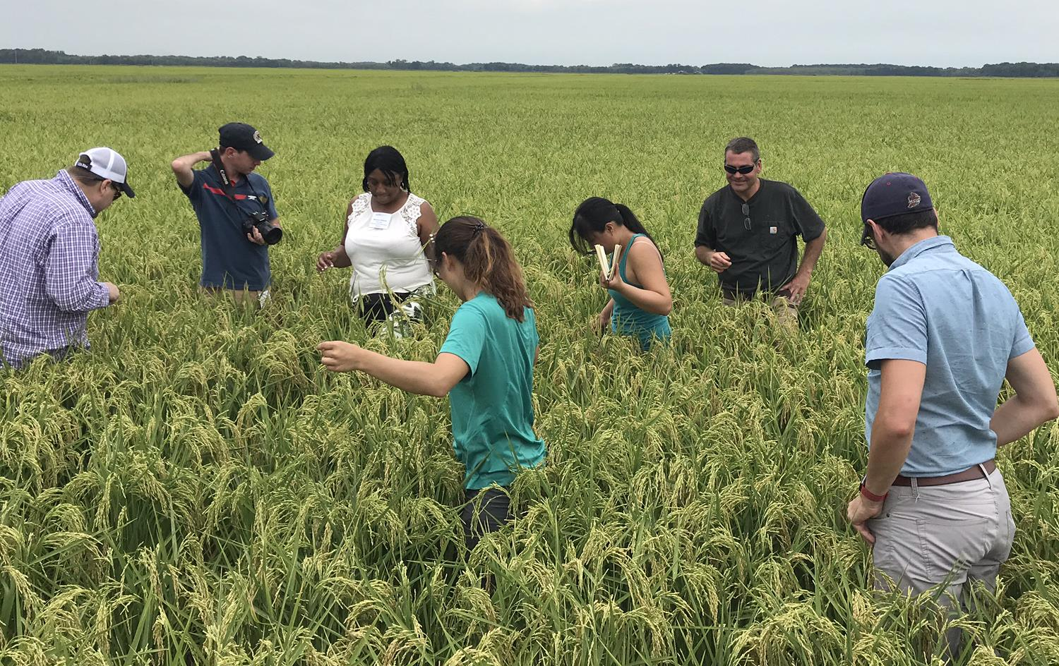 People stand waist-deep in green rice field