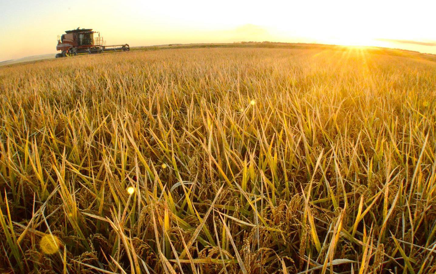 Combine in golden rice field, wide angle shot