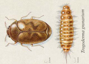 ITP-Khapra Beetle, horizontal-190924