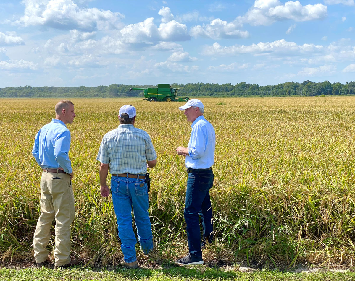 Three men stand in mature rice field with combine harvesting in background