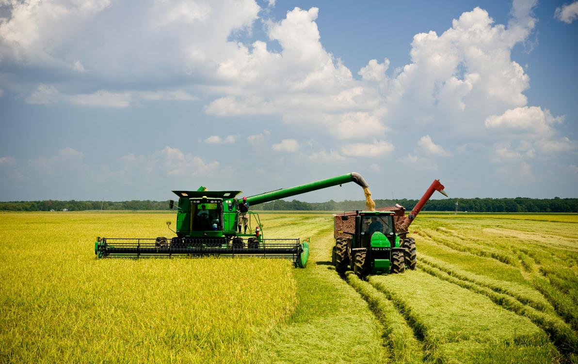 Green combine and grain cart harvest golden rice field, blue sky with puffy white clouds