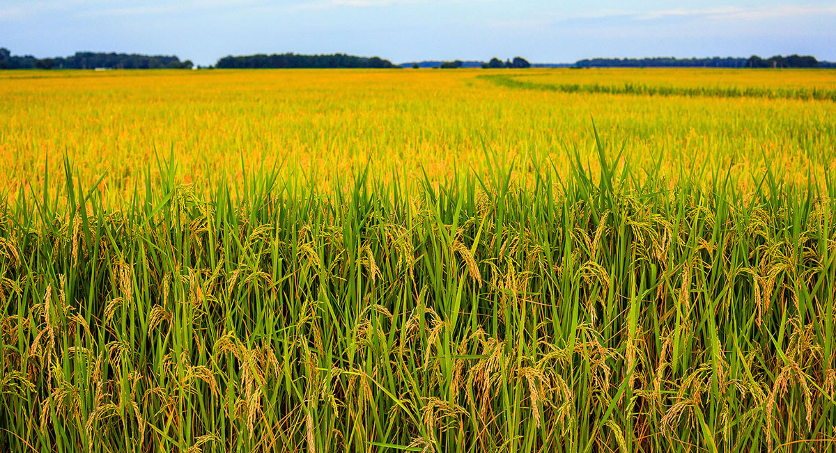 MS-Golden-Rice-Field-210108