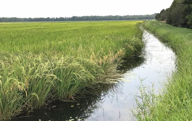 Maturing Arkansas rice field & irrigation ditch
