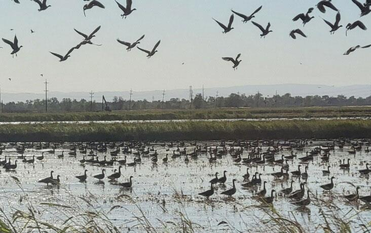 Waterfowl-in-CA-rice-fields, in the air and on the ground