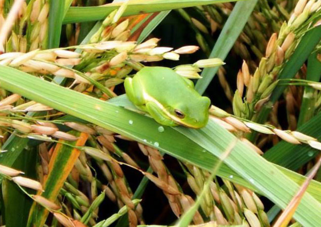 Frog in a rice field