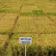 Image of test rice field