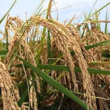 close up image of a rice plant