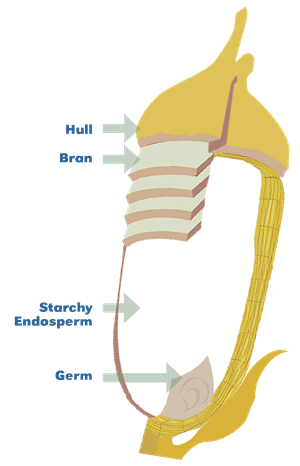Graphic showing parts of the rice grain: hull, bran, endosperm, and germ.