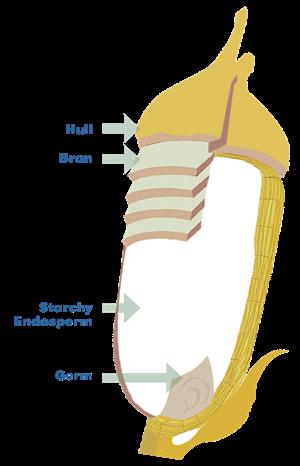Rice Anatomy Breakdown