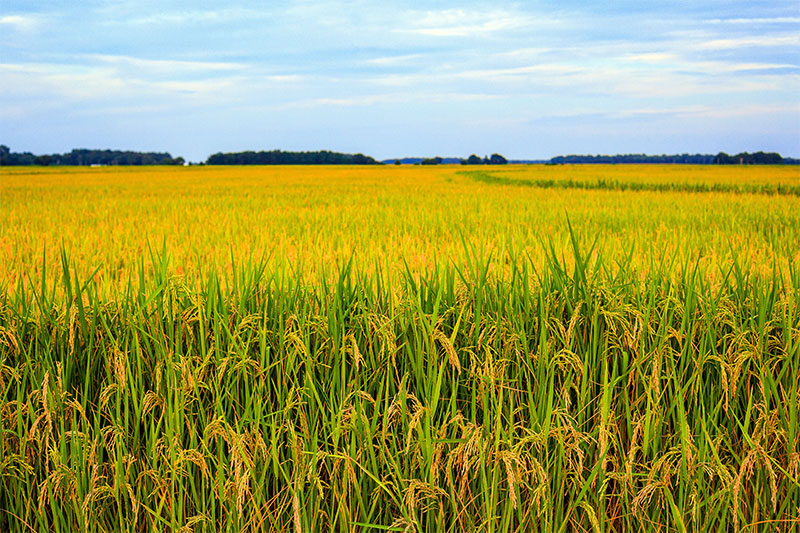Landscape view of a rice field in Arkansas.