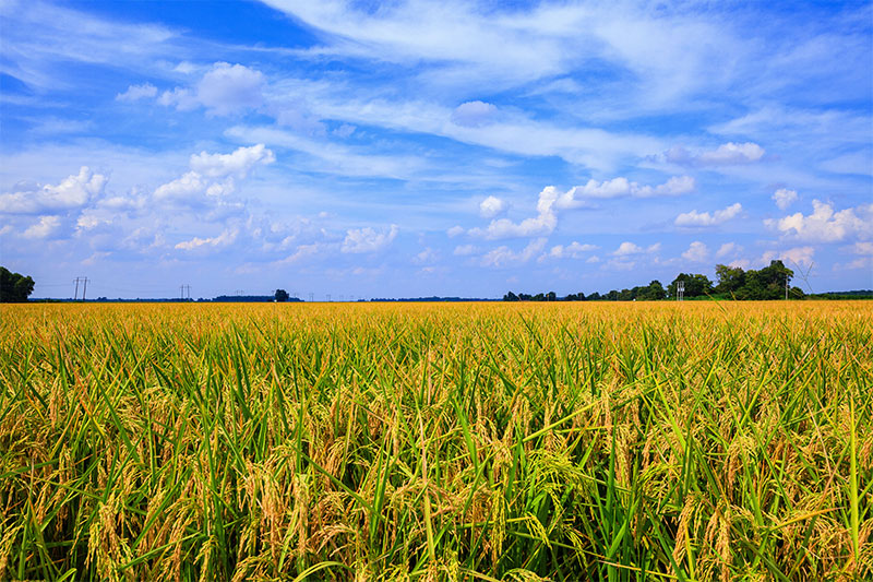 Landscape view of a rice field in Louisiana.