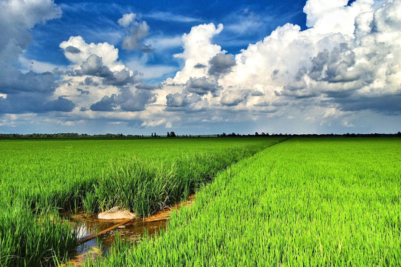 Landscape view of a rice field in Mississippi.