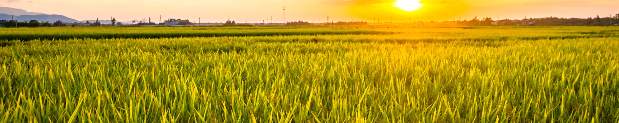 Ground level image of a rice field at sunset.