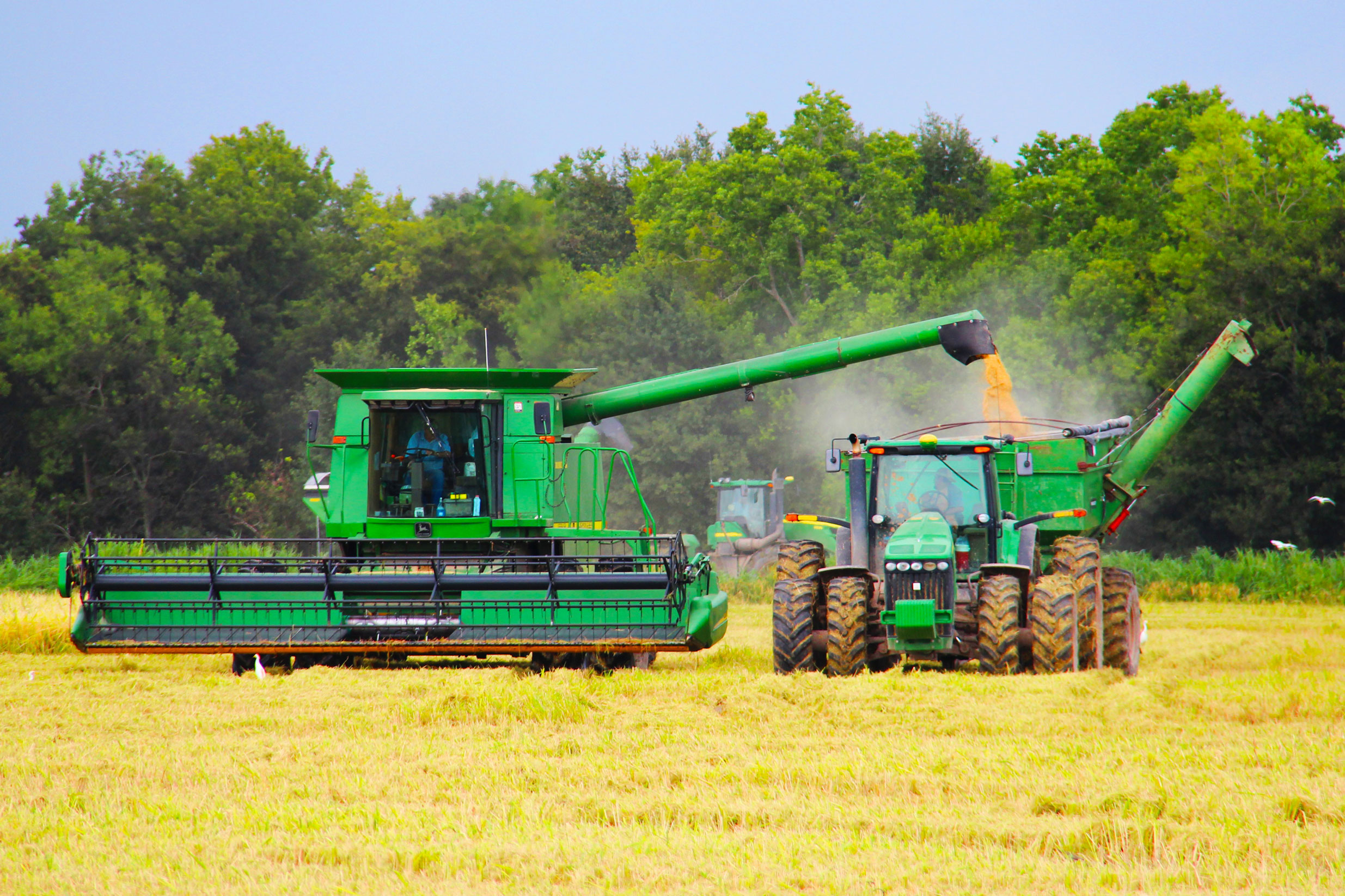 Green combine and grain truck loading harvested rice in yellow field