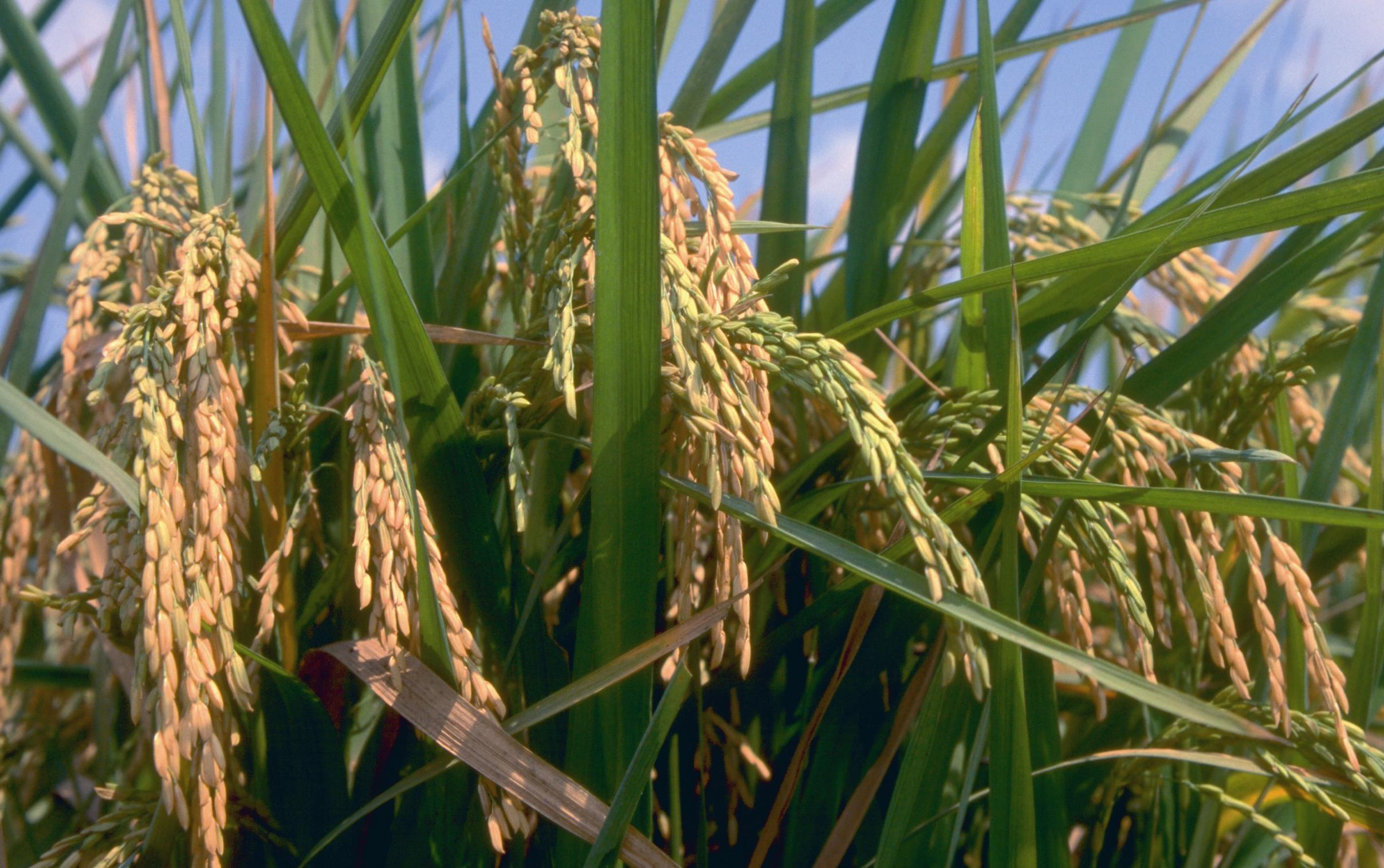 Closeup of maturing rice plant with golden and green rice heads, blue sky background