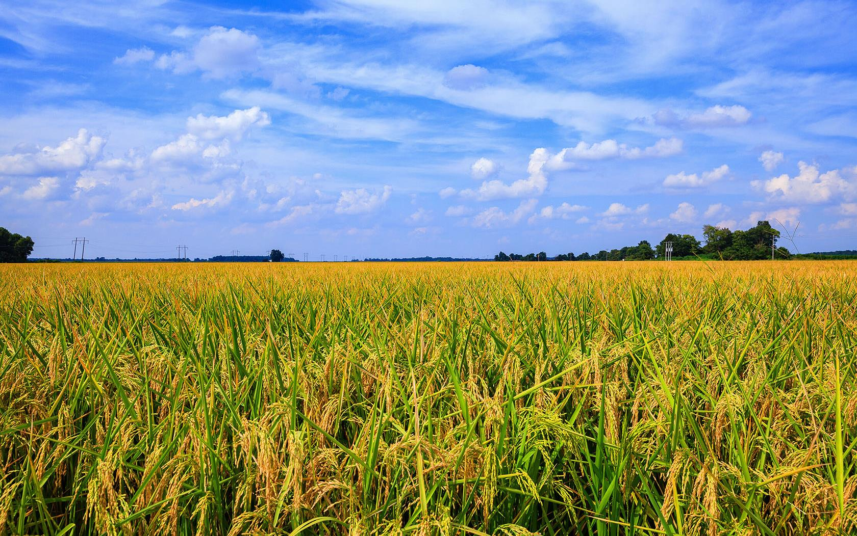 Yellow/green rice field under brilliant blue sky with fluffy white clouds, some trees in background