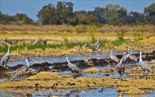 Sandhill cranes, gather in flooded rice field after harvest, M. Wurlitzer photo