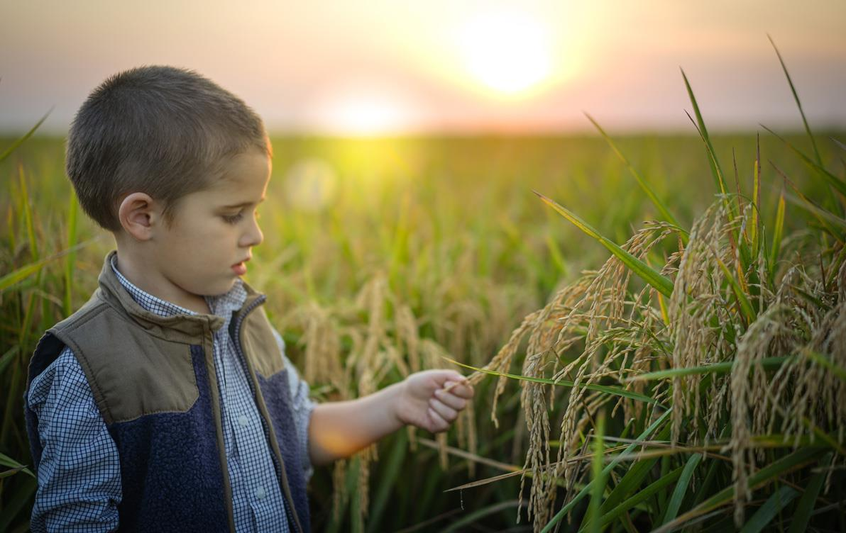 Young boy in mature rice field at sunset