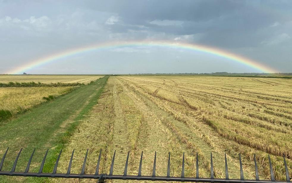 Rainbow over golden rice field