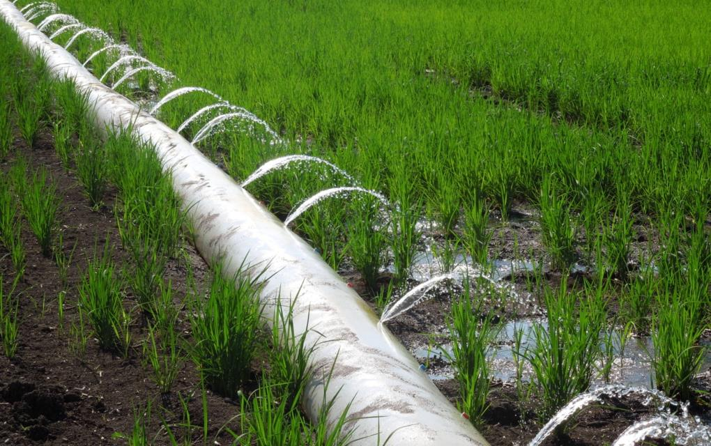 Water flowing out of poly pipe onto green rice field