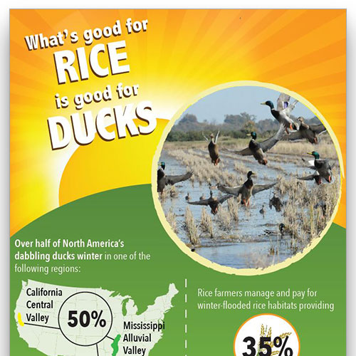 Preview image of the What's Good for Rice is Good for Ducks infographic