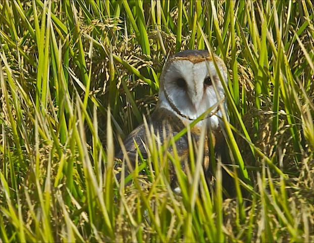 Barnowl sitting in rice field