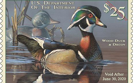 2019 Duck Stamp shows painting of wood duck sitting in water surrounded by cattails
