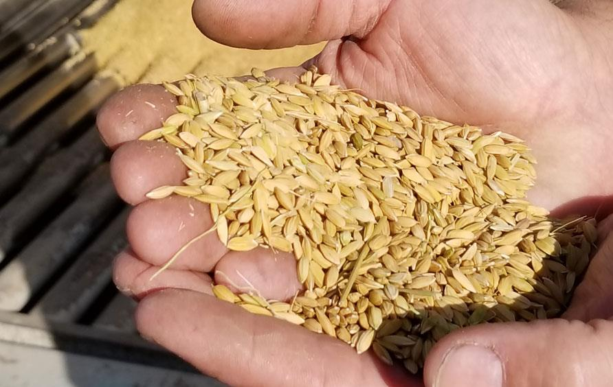 Hands holding golden harvested rice
