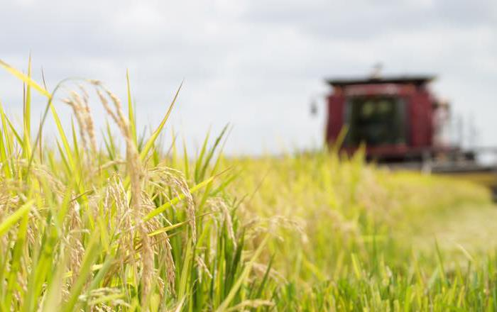 Rice close up with combine blurred in background, Jenna Martin photo