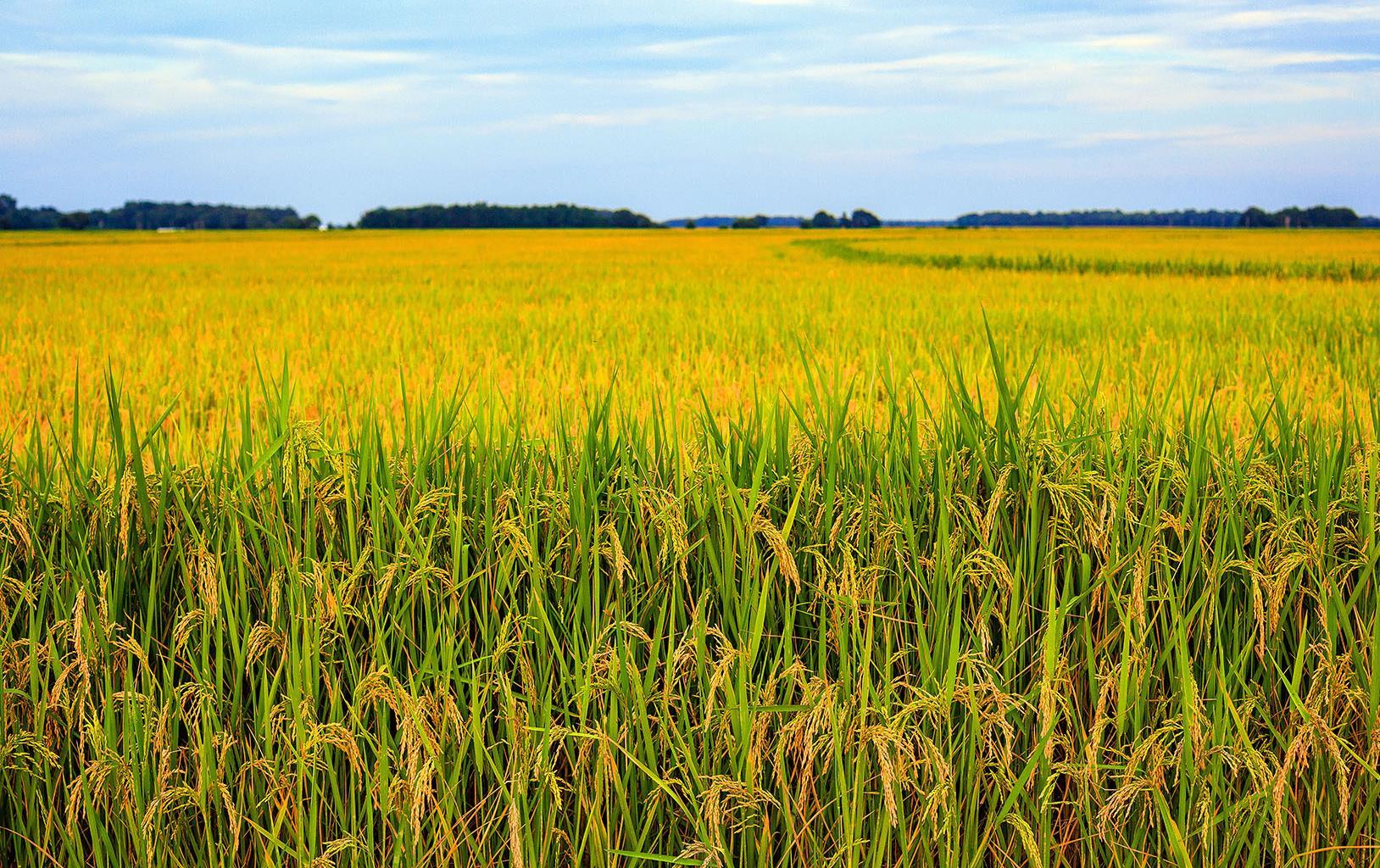 Field of mature, golden rice