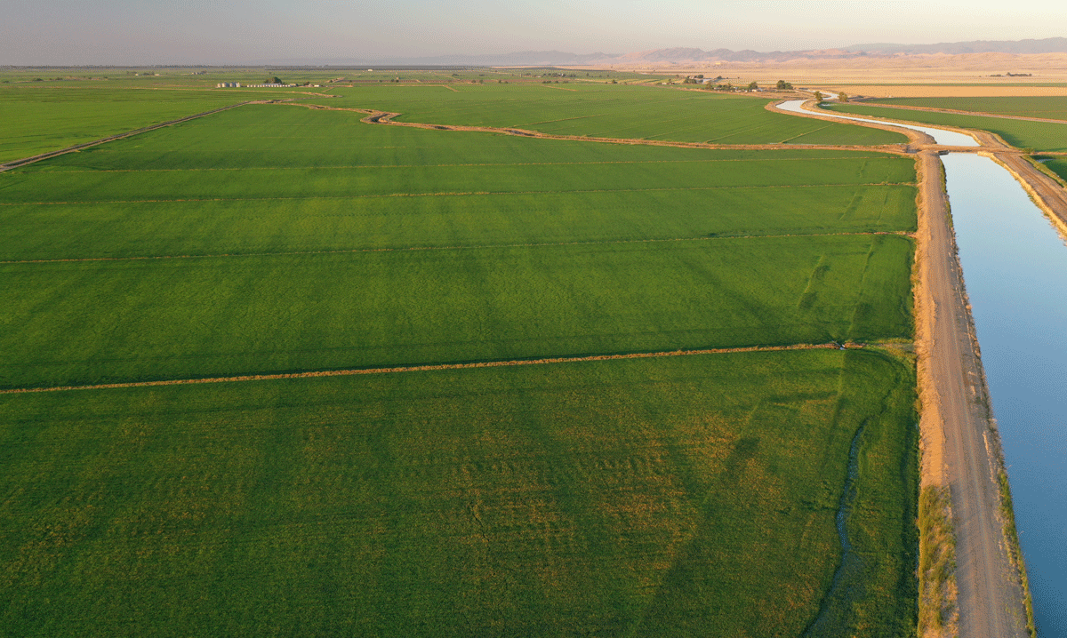 Aerial view of expansive green rice fields bordered on the right by a canal filled with blue water
