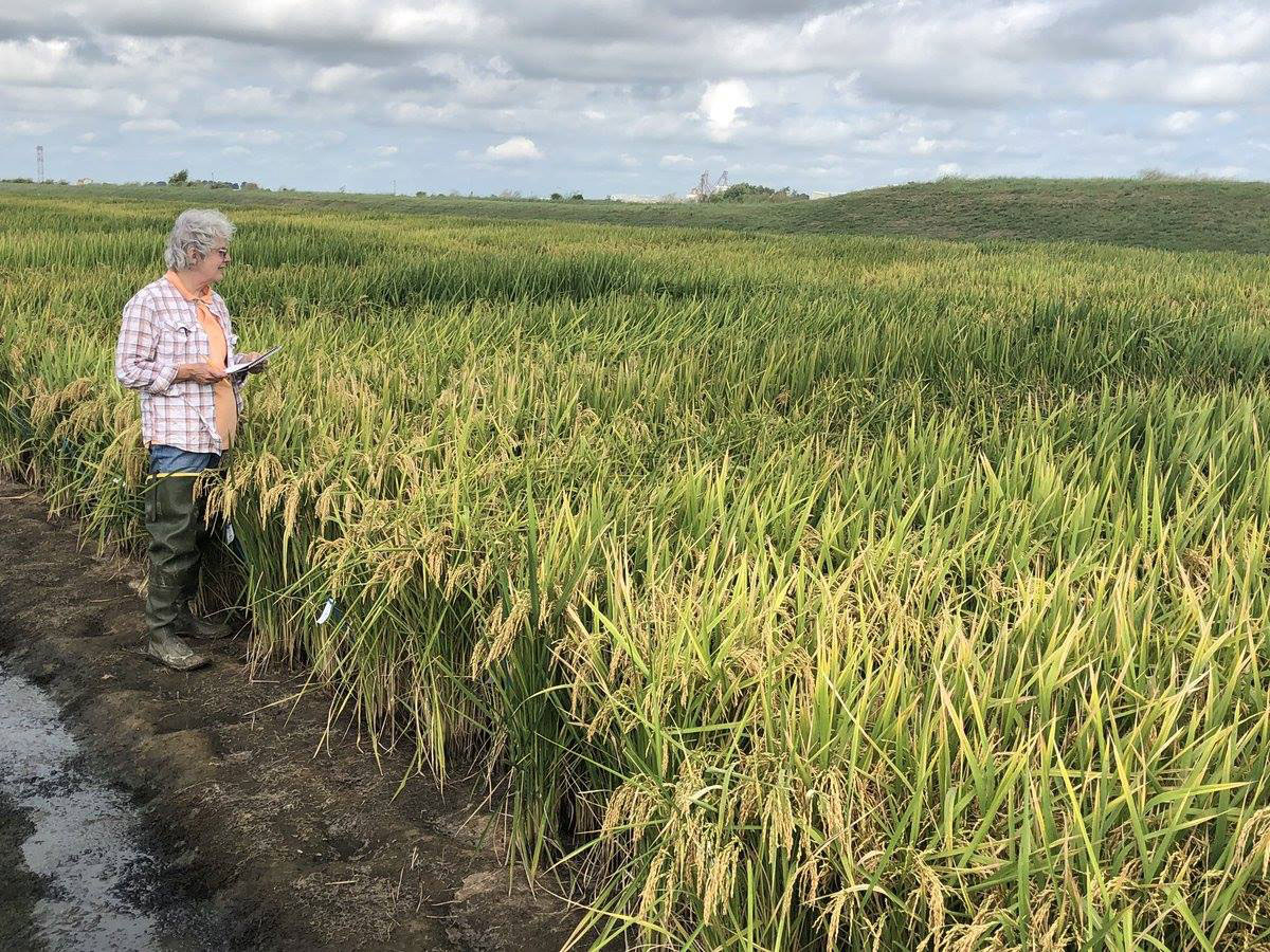 Woman stands at edge of research rice field,-UofA-photo