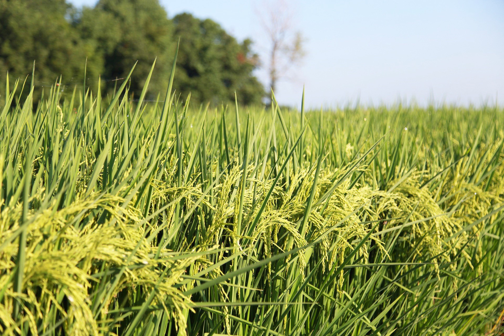 Close up of green rice field