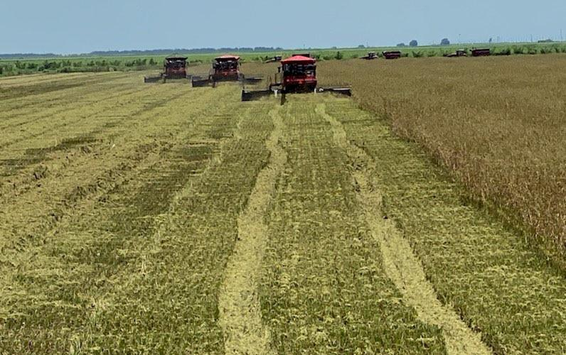 Three combines harvest mature rice field