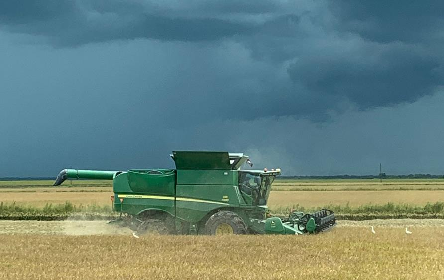 Green combine harvesting golden rice field, ominous black clouds in the distance