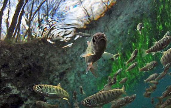 Salmon swimming underwater
