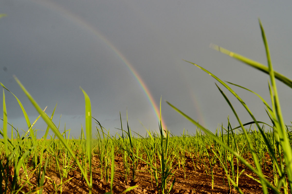 Rice-at-the-end-of-the-Rainbow,-J.-Martin-photo