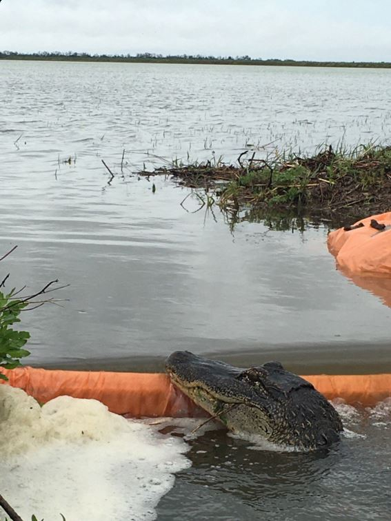 Alligator peers over a gate in a flooded rice field in LA