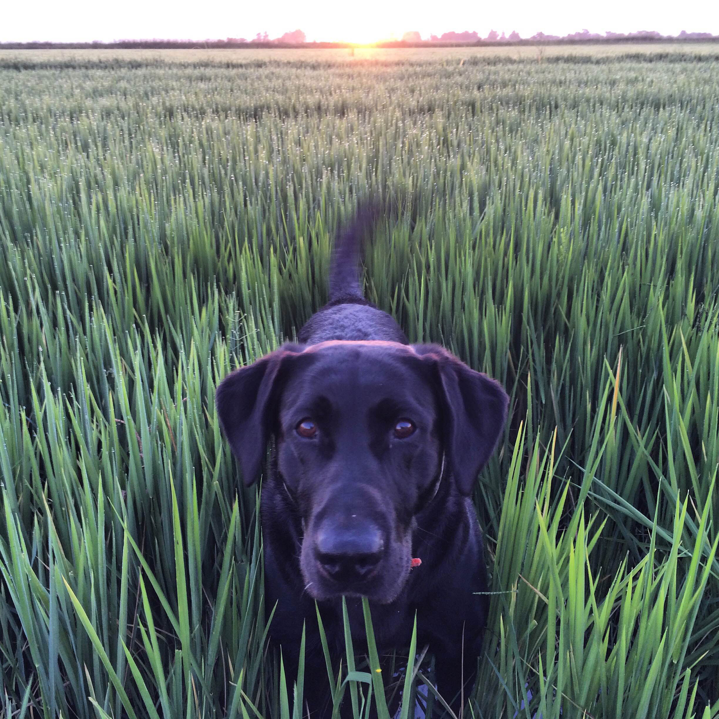 #ThinkRice-Photo-Contest-Winner - closeup of a black lab in a rice field