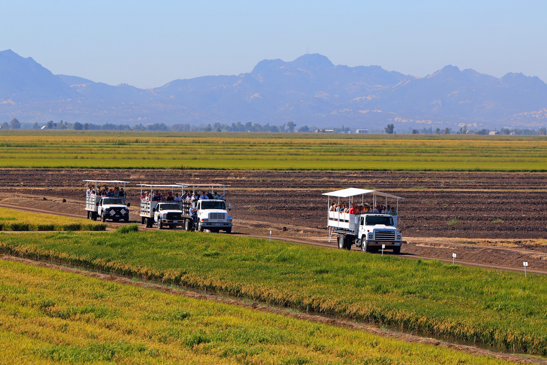 CA Field Day, trucks with attendees roll through research plots, Sutter Buttes in the background