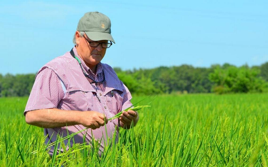 Joe Mencer checking rice in field